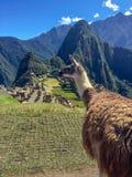 Λάμα picchu Machu, Περού στοκ φωτογραφίες
