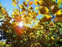 Λάμποντας ήλιος μέσω του δέντρου με τα κίτρινα φύλλα κατά τη διάρκεια του φθινοπώρου Στοκ φωτογραφία με δικαίωμα ελεύθερης χρήσης