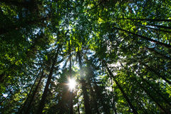 Λάμποντας ήλιος μέσω των πράσινων κορωνών των αποβαλλόμενων δέντρων Στοκ φωτογραφία με δικαίωμα ελεύθερης χρήσης