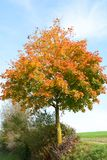 Λάμποντας δέντρο σφενδάμνου το φθινόπωρο Στοκ Εικόνες