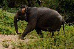 Λάος: Ελέφαντας Mekong thte στον ποταμό κοντά στις τρύπες OU Pak στοκ εικόνες