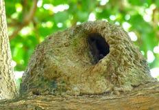Λάσπη-φωλιά Hornero ` s πέρα από έναν κλάδο δέντρων Στοκ φωτογραφία με δικαίωμα ελεύθερης χρήσης