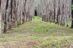 Λάστιχο δέντρων. Στοκ φωτογραφίες με δικαίωμα ελεύθερης χρήσης