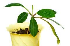 λάστιχο φυτών Στοκ εικόνες με δικαίωμα ελεύθερης χρήσης