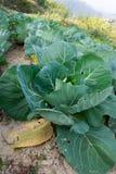 Λάχανο για τις φυσικές συνταγές σας στην κουζίνα Στοκ Εικόνες