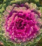 λάχανο διακοσμητικό Στοκ Φωτογραφίες