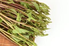 Λάχανο ελών, μίσχος λευκού λάχανων ελών, δόξα πρωινού νερού (aquatica Forsk Ipomoea ) Στοκ εικόνες με δικαίωμα ελεύθερης χρήσης