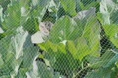 Λάχανο κάτω από ένα προστατευτικό δίχτυ Στοκ εικόνες με δικαίωμα ελεύθερης χρήσης