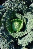 Λάχανο κραμπολάχανου Στοκ Φωτογραφίες