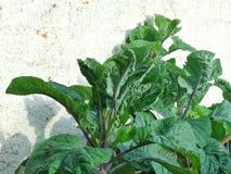 Λάχανο με τα όμορφα πράσινα φύλλα Στοκ εικόνες με δικαίωμα ελεύθερης χρήσης