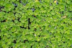 Λάχανο νερού, μαρούλι νερού, λάχανο του Νείλου ή λουλούδι κοχυλιών στοκ εικόνες με δικαίωμα ελεύθερης χρήσης