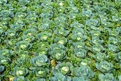 Λάχανο που αυξάνεται στη γεωργική γη στοκ φωτογραφία