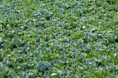 Λάχανο που αυξάνεται στη γεωργική γη στοκ φωτογραφία με δικαίωμα ελεύθερης χρήσης