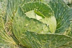 λάχανο πράσινο Στοκ εικόνα με δικαίωμα ελεύθερης χρήσης
