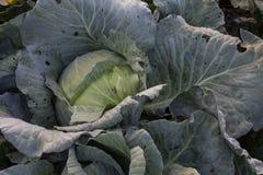 Λάχανο στον κήπο πράσινα λαχανικά Στοκ εικόνα με δικαίωμα ελεύθερης χρήσης