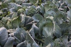 Λάχανο στον κήπο φυτεία του λάχανου Στοκ Εικόνες