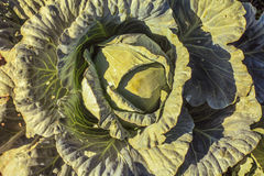 Λάχανο στον κήπο στοκ φωτογραφία