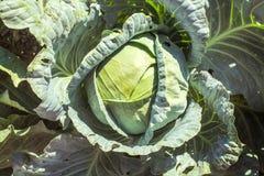 Λάχανο στον κήπο στοκ εικόνα με δικαίωμα ελεύθερης χρήσης