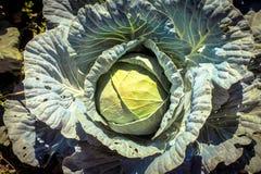 Λάχανο στον κήπο στοκ εικόνα