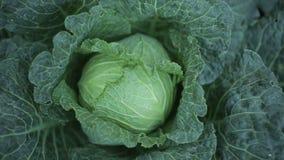 Λάχανο στον κήπο απόθεμα βίντεο