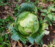 Λάχανο στον κήπο Στοκ φωτογραφίες με δικαίωμα ελεύθερης χρήσης