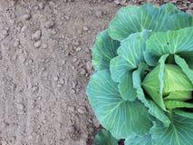 Λάχανο στο κρεβάτι Γη και λάχανο Στοκ φωτογραφία με δικαίωμα ελεύθερης χρήσης