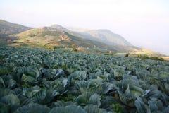Λάχανο τομέων στο βουνό Στοκ φωτογραφία με δικαίωμα ελεύθερης χρήσης