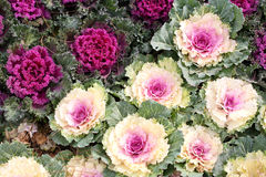 λάχανο διακοσμητικό Στοκ εικόνα με δικαίωμα ελεύθερης χρήσης