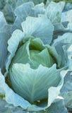 λάχανο Στοκ εικόνες με δικαίωμα ελεύθερης χρήσης