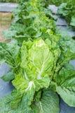 Λάχανο Napa ή κινεζικό λάχανο. Στοκ φωτογραφίες με δικαίωμα ελεύθερης χρήσης