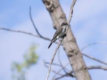 Λίγα καταπίνουν το πουλί Στοκ Εικόνα