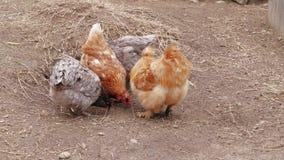 Λίγα κοτόπουλα Silkie που ραμφίζουν τους αντίχειρες στην ελεύθερη σειρά στο αγρόκτημα φιλμ μικρού μήκους