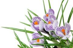 Λίγα λουλούδια του κρόκου Στοκ Εικόνα