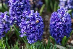 Λίγα λουλούδια του μπλε υάκινθου συναγωνίζονται Usabelle Στοκ Φωτογραφία