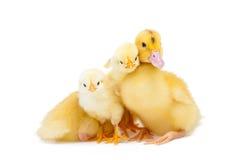 Λίγα πάπια και κοτόπουλο Στοκ εικόνα με δικαίωμα ελεύθερης χρήσης