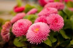Λίγα πορφυρά ρόδινα λουλούδια Στοκ Φωτογραφία