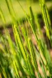 Λίγα συλλάβισαν - triticum monococcum - τα poaceae στοκ εικόνα με δικαίωμα ελεύθερης χρήσης