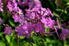 λίγα τα όμορφα ιώδη λουλούδια σε μια κινηματογράφηση σε πρώτο πλάνο διακλαδίζονται Στοκ φωτογραφία με δικαίωμα ελεύθερης χρήσης