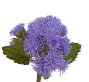 Λίγα χνουδωτά καλαμπόκι-λουλούδια Στοκ Εικόνα
