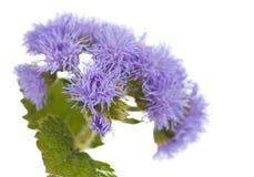 Λίγα χνουδωτά καλαμπόκι-λουλούδια Στοκ φωτογραφία με δικαίωμα ελεύθερης χρήσης