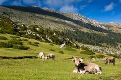 Λίγες αγελάδες στο λιβάδι βουνών Στοκ Εικόνα