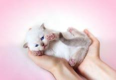 Λίγη άσπρη γάτα Στοκ εικόνα με δικαίωμα ελεύθερης χρήσης