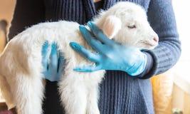 Λίγη αίγα στα χέρια ενός κτηνιάτρου στην τροφή Στη διδακτική εστίαση στοκ φωτογραφίες με δικαίωμα ελεύθερης χρήσης