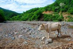 λίγη αγελάδα μωρών με τη μητέρα της στοκ εικόνες