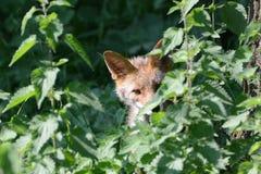 Λίγη αλεπού στοκ φωτογραφία