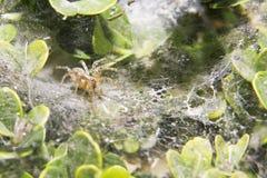 Λίγη αράχνη είναι στον ιστό αράχνης του Στοκ Φωτογραφία
