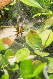 Λίγη αράχνη είναι στον ιστό αράχνης του Στοκ εικόνα με δικαίωμα ελεύθερης χρήσης