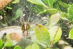 Λίγη αράχνη είναι στον ιστό αράχνης του Στοκ Εικόνες