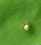Λίγη αράχνη που περπατά το πράσινο φύλλο στο μουτζουρωμένο υπόβαθρο, άγρια φύση Στοκ φωτογραφίες με δικαίωμα ελεύθερης χρήσης