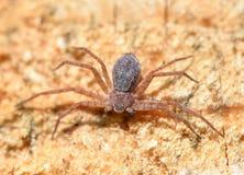Λίγη αράχνη σε ένα ξύλινο υπόβαθρο, Στοκ Εικόνα